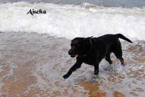 """Labrador """"Aischa"""""""