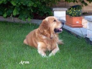 "Golden Retriever ""Aron"""