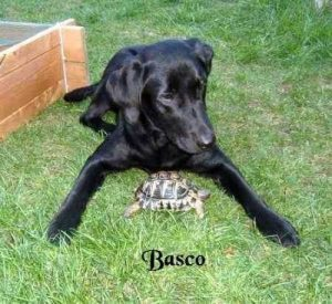 """Labrador """"Basco"""""""