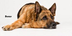 """Deutscher Schäferhund """"Boso"""""""