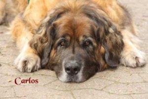 "Leonberger ""Carlos"""