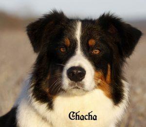 "Australian Shepherd ""Chacha"""