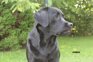 """Labrador """"Conrad"""""""