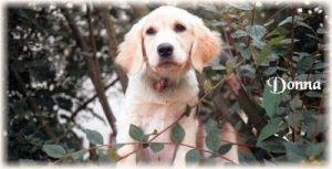 "Golden Retriever ""Donna"""