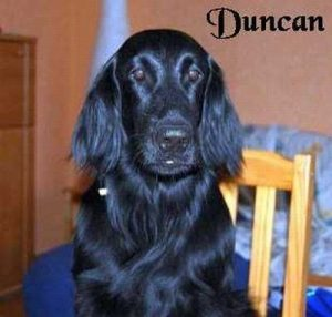 "Flatcoated Retriever ""Duncan"""