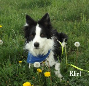 "Bordercollie ""Eliot"""