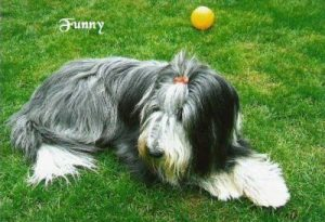 "Bearded Collie ""Funny"""