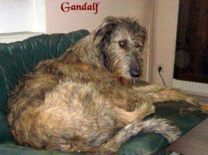 """Irischer Wolfshund """"Gandalf"""""""