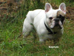 "Frz. Bulldogge ""Gaston"""