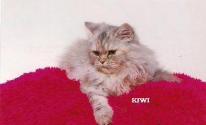 "Perserkatze ""Kiwi"""