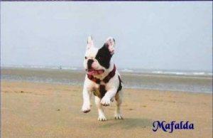 """Frz. Bulldogge """"Mafalda"""""""
