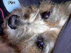 """Terrier """"Max"""""""