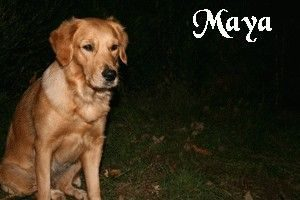 "Golden Retriever ""Maya"""