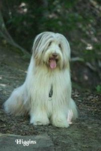 "Bearded Collie ""Mr. Higgins"""