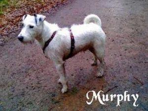 """Parson Russell Terrier """"Murphy"""""""