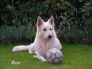 """Weißer Schäferhund """"Nero"""""""