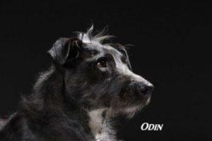 "Mischling ""Odin"""