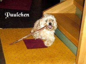 """Havaneser """"Paulchen"""""""