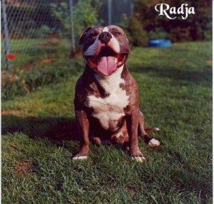 "American Staffordshire Terrier ""Radja"""