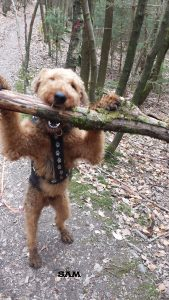 "Airedale Terrier ""Sam"""