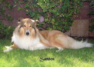 "Collie ""Santos"""