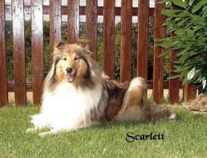 "Collie ""Scarlett"""