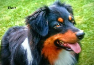 "Australian Shepherd ""Shadow"""