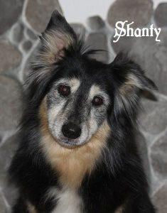 """Australian Shepherd """"Shanty"""""""