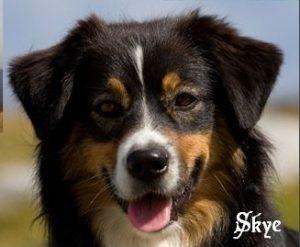 "Australian Shephard ""Skye"""