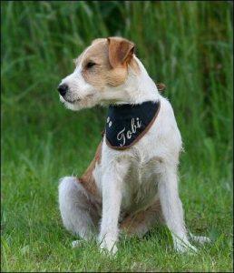 "Parson Russell Terrier ""Tobi"""