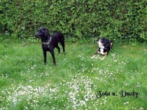 "Labrador ""Zola""/Beagle ""Dusty"""