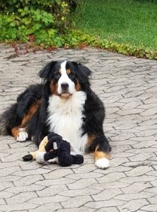 "Berner Sennenhund ""Luna"""