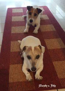 "Jack Russell Terrier ""Murphy"" / Jack Russell Terrier ""Felix"""