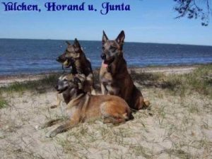 """Dtsch. Schäferhund """"Yulchen"""" / Malinois """"Horand"""" / Malinois """"Junta"""""""