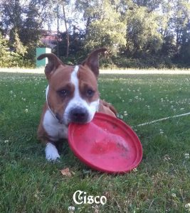 "American Staffordshire Terrier ""Cisco"""