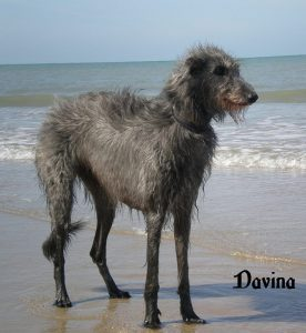 "Scottish Dearhound ""Davina"""