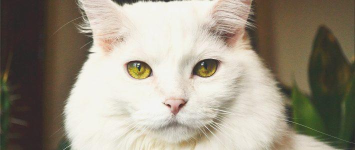 Katzenleukose (FeLV)