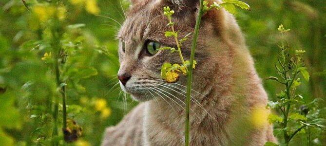 Hämobartonellose bei Katzen