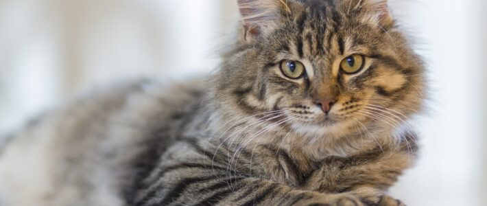 Feline infektiöse Peritonitis (FIP)