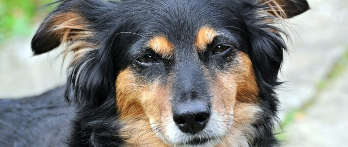 Parvovirose beim Hund